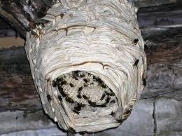 nido calabrone
